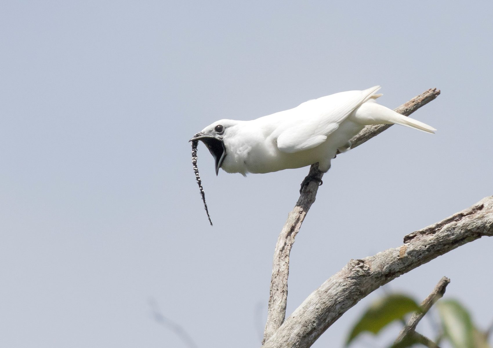 Amazon's white bellbirds set new record for loudest bird call