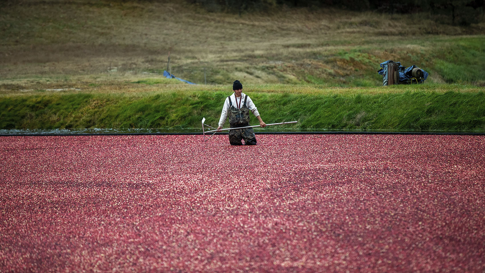 A cranberry harvester stands in a sea of cranberries at Pinnacle Bog in Plymouth. (Jesse Costa/WBUR)