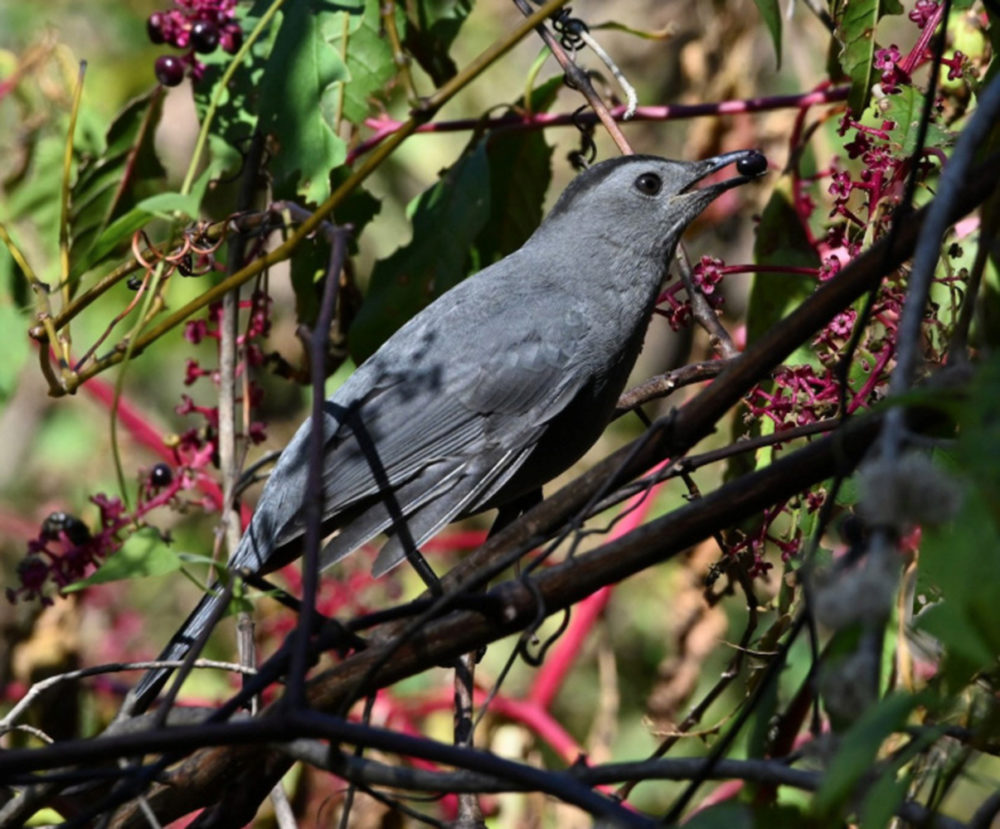 Migratory birds like this gray catbird continue to prefer the fruits of native plans like pokeweed during the fall. (Courtesy Ann Stinely)