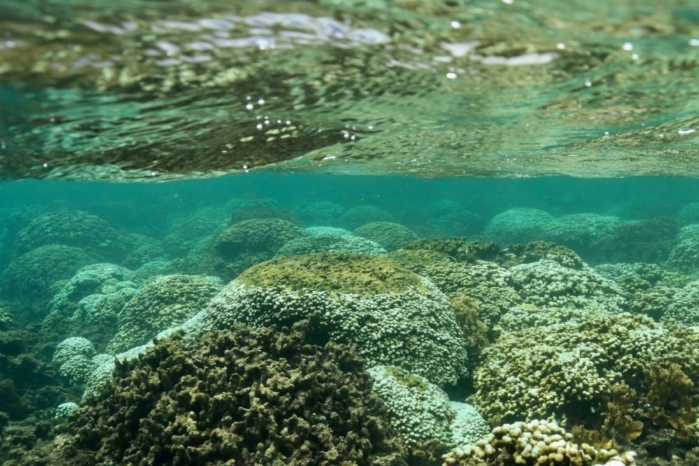 Bleaching and partially dead coral colonies in Kaneohe Bay. (Photo by Shreya Yadav/Madin Lab/Hawaii Institute of Marine Biology)