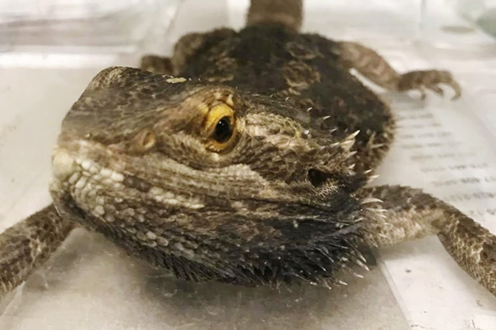 This Dec. 21, 2019, photo released by the Stoughton Police Department shows one of six lizards the department rescued that had been abandoned on a street in Stoughton, Mass. (Stoughton Police Department via AP)