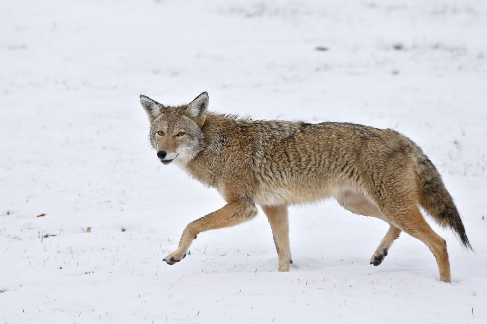 A coyote walks across fresh snow in Boulder, Colo. in 2015. Animal rights groups are hailing a December 2019 decision by Massachusetts wildlife officials to ban hunting contests in the state for certain predator and fur-bearing animals, including coyotes. (Brennan Linsley/AP)