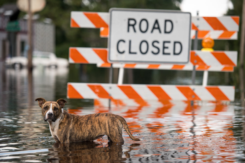 A dog stands in floodwaters from the Waccamaw River caused by Hurricane Florence in Bucksport, South Carolina. (Sean Rayford/Getty Images)