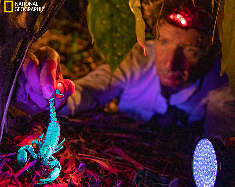 Zoltan Takacs, a biomedical scientist and National Geographic explorer, finds a venomous scorpion in Vietnam, which glows blue in ultraviolet light. Collecting venom from around the world, Takacs hopes to identify novel pain medications because there are currently few good alternatives to opioids. Venom has already led to one notable success.  (David Guttenfelder/National Geographic)
