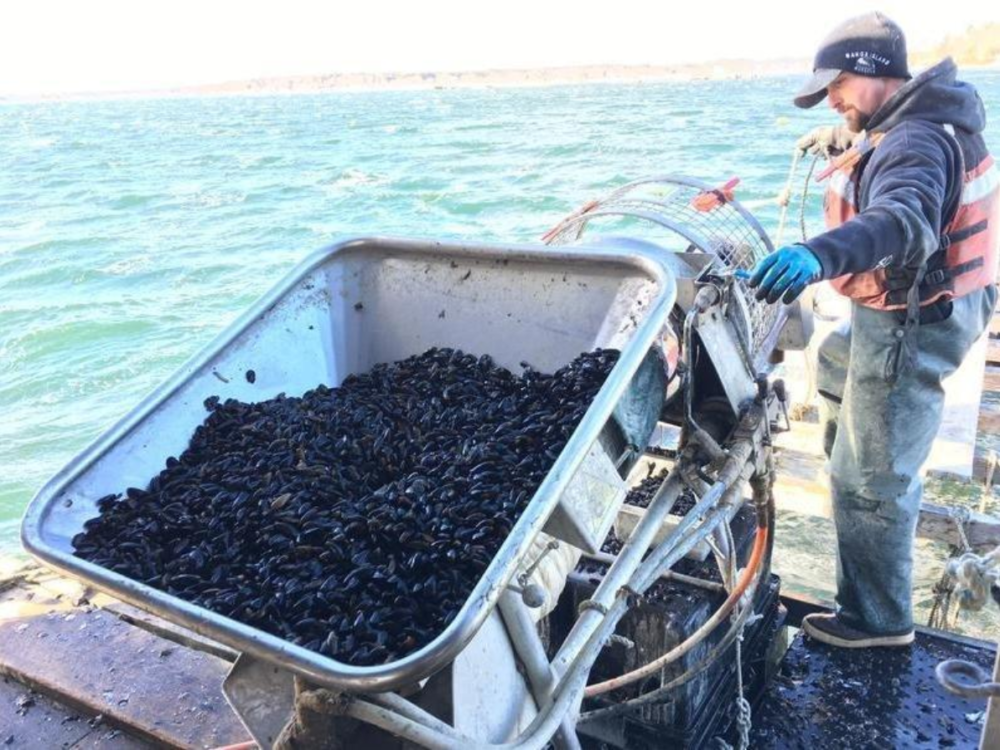 In this 2018 file photo, a Bangs Island Mussels worker sets juvenile mussels onto a rope. (Fred Bever/ Maine Public Radio)