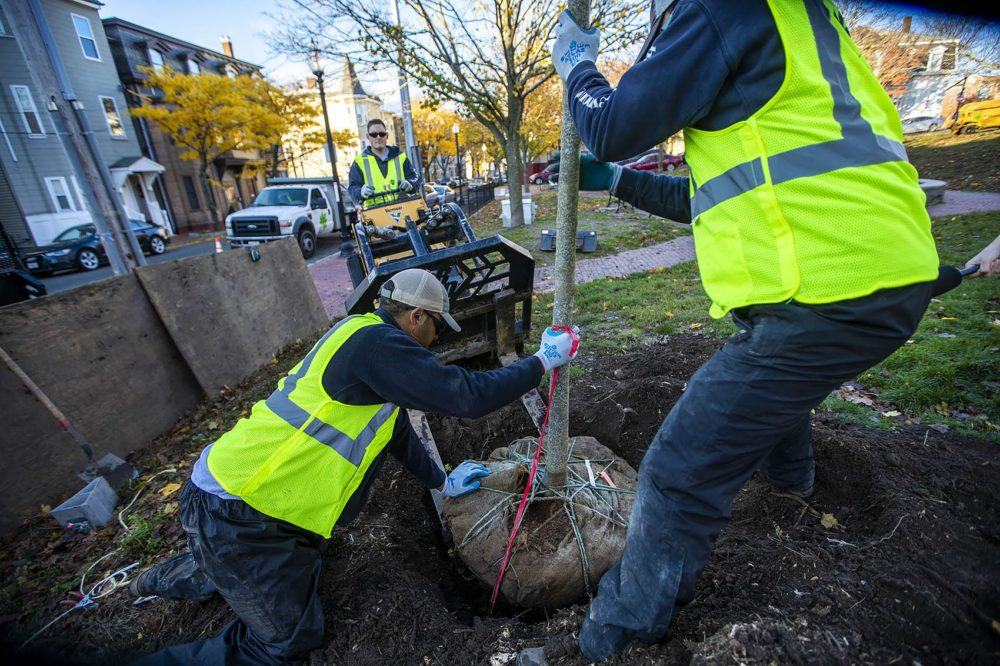 Mike Nichols, Tomas Cardoso and Romeo Gonzales place the tree in a hole at Prescott Sq. Park in East Boston. (Jesse Costa/WBUR)