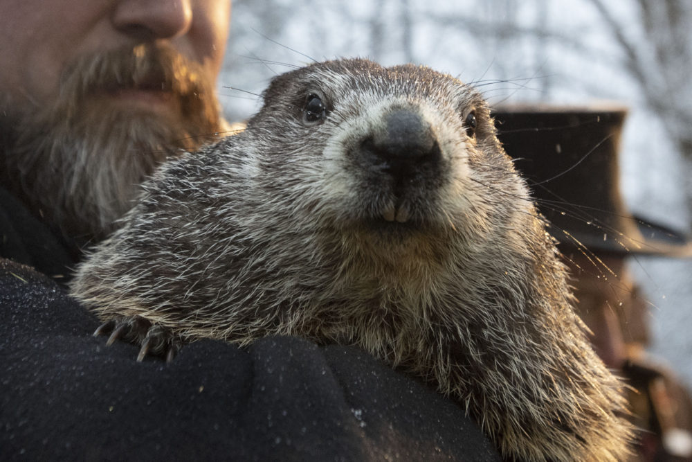 Punxsutawney Phil, the weather prognosticating groundhog, has forecast an early spring in 2020. (AP Photo/Barry Reeger)
