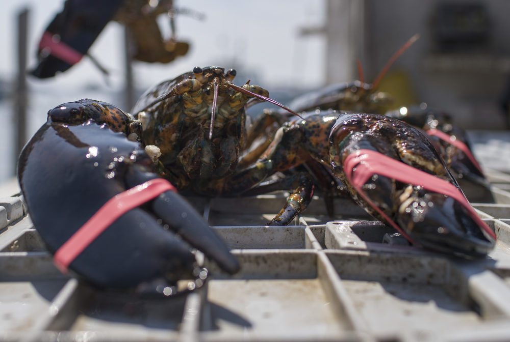 The lobster industry in New England has been impacted by Trump's trade policies. (Joe Raedle/Getty Images)