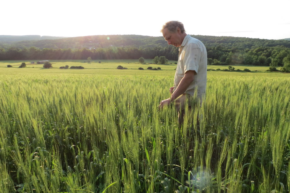 Thor Oechsner, an organic farmer in Newfield, N.Y., stands in a field of hard red spring wheat. (Oechsner Farms)