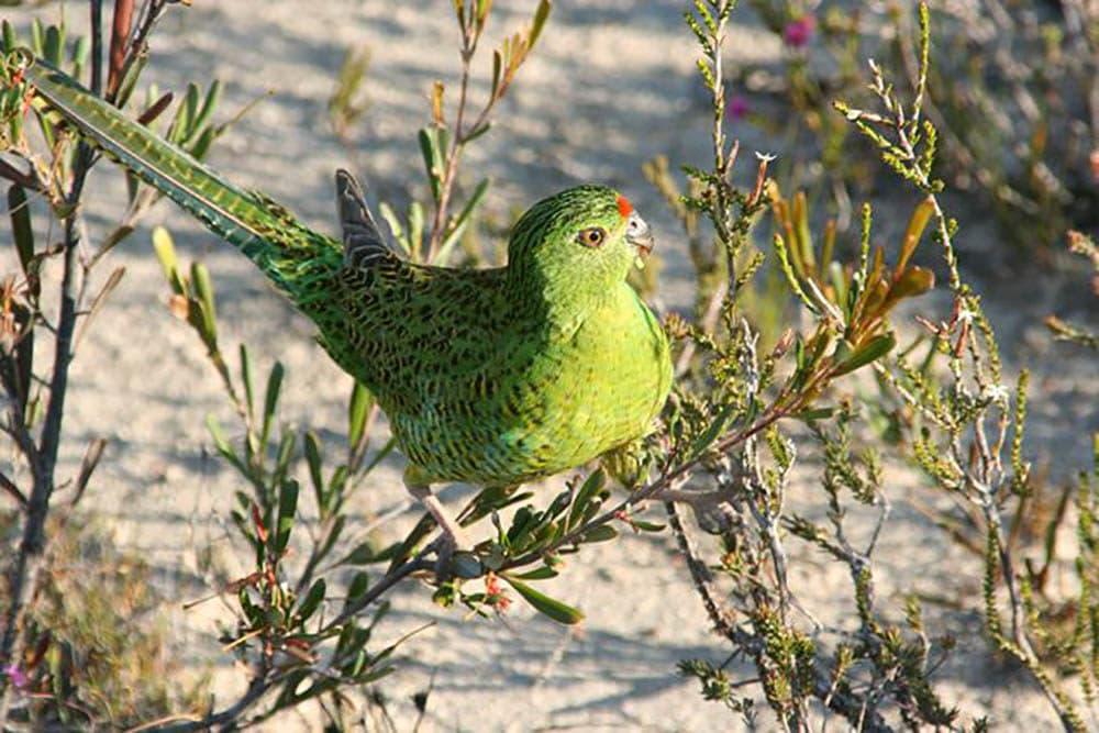 Western ground parrot (Brent Barrett/Flickr)