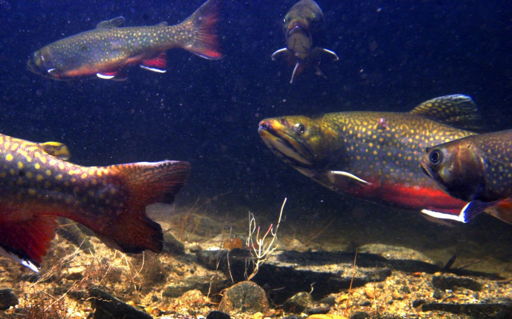 Brook trout in their vibrant autumn spawning colors gather in the Pleasant River in Windham, Maine, Friday, Nov. 16, 2001. (Robert F. Bukaty/AP)