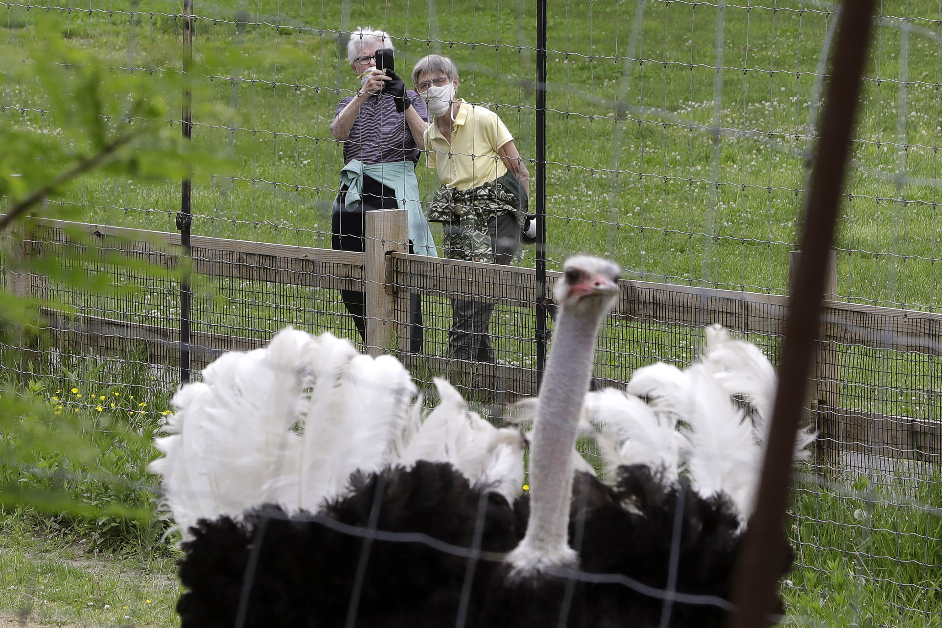 """Visitors to the Franklin Park Zoo make a recording of a male ostrich named """"Julius"""", May 28, 2020, in Boston. The zoo was open to members only Thursday for the first time in about two months due to concerns about COVID-19. (Steven Senne/AP)"""