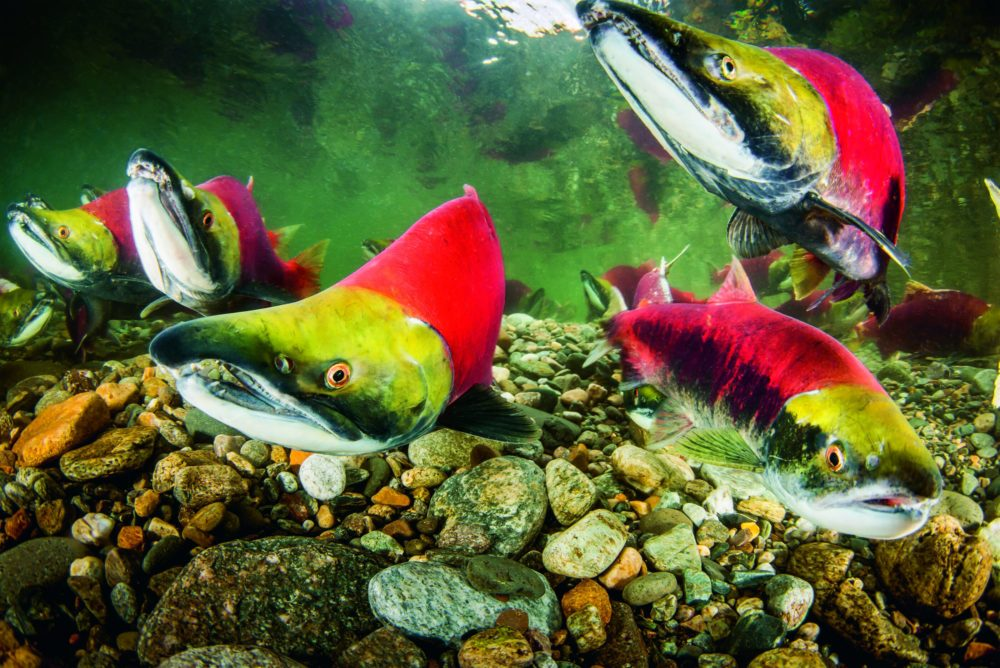 Male sockeye and one female—the one without the hook jaw at lower right—ready for spawning in the Adams River, British Columbia. (Eiko Jones/Courtesy of Patagonia Books)