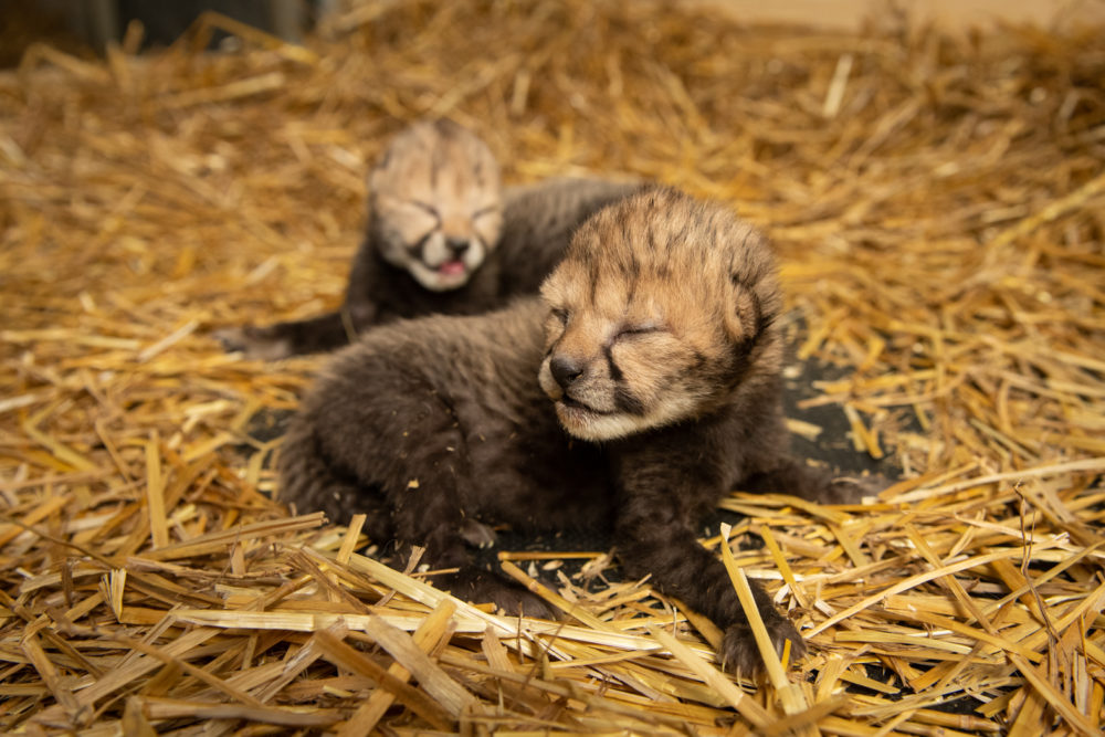 For the first time, cheetah cubs have been born by in vitro fertilization to a surrogate mother. (Grahm S. Jones/Columbus Zoo and Aquarium)
