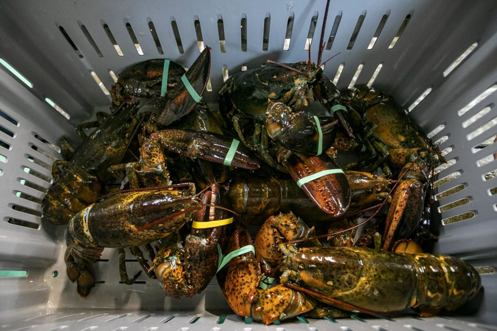 A bin of just caught lobster at Fisherman's View Seafood Market in Sandwich. (Jesse Costa/WBUR)