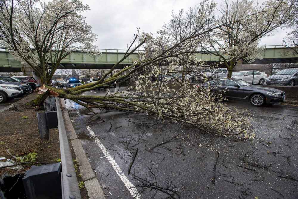 A tree was downed by the high winds of Monday's storm along Storrow Drive eastbound by Massachusetts General Hospital, blocking the two right lanes. (Jesse Costa/WBUR)