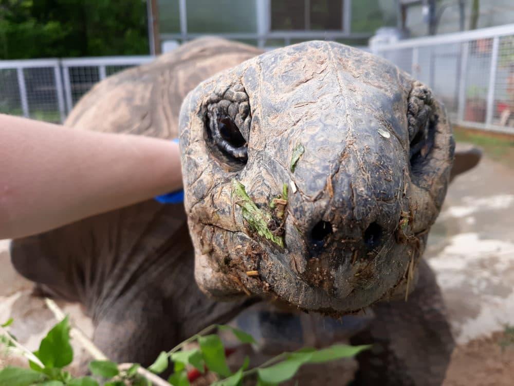 Big Al, a lap turtle, says hello. (Heather Debord)