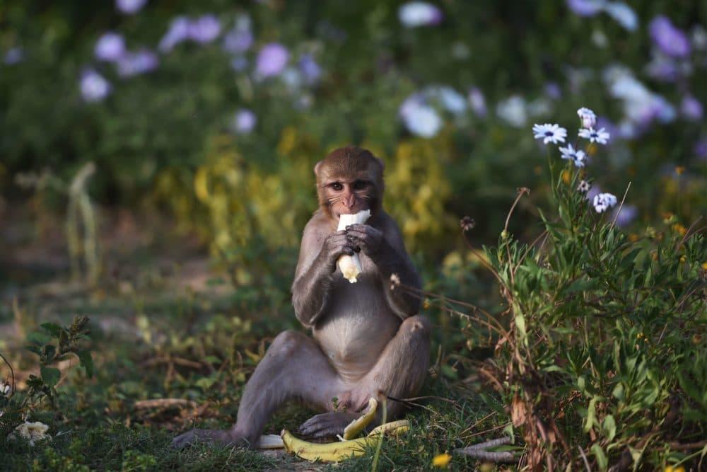 A monkey eats a banana on a roadside in New Delhi on April 8, 2020. (MONEY SHARMA/AFP via Getty Images)