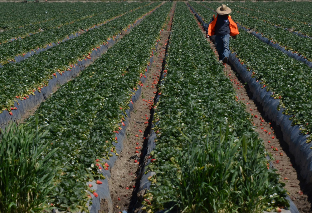 Migrant workers harvest strawberries at a farm near Oxnard, California. (Joe Klamar/AFP/Getty Images)