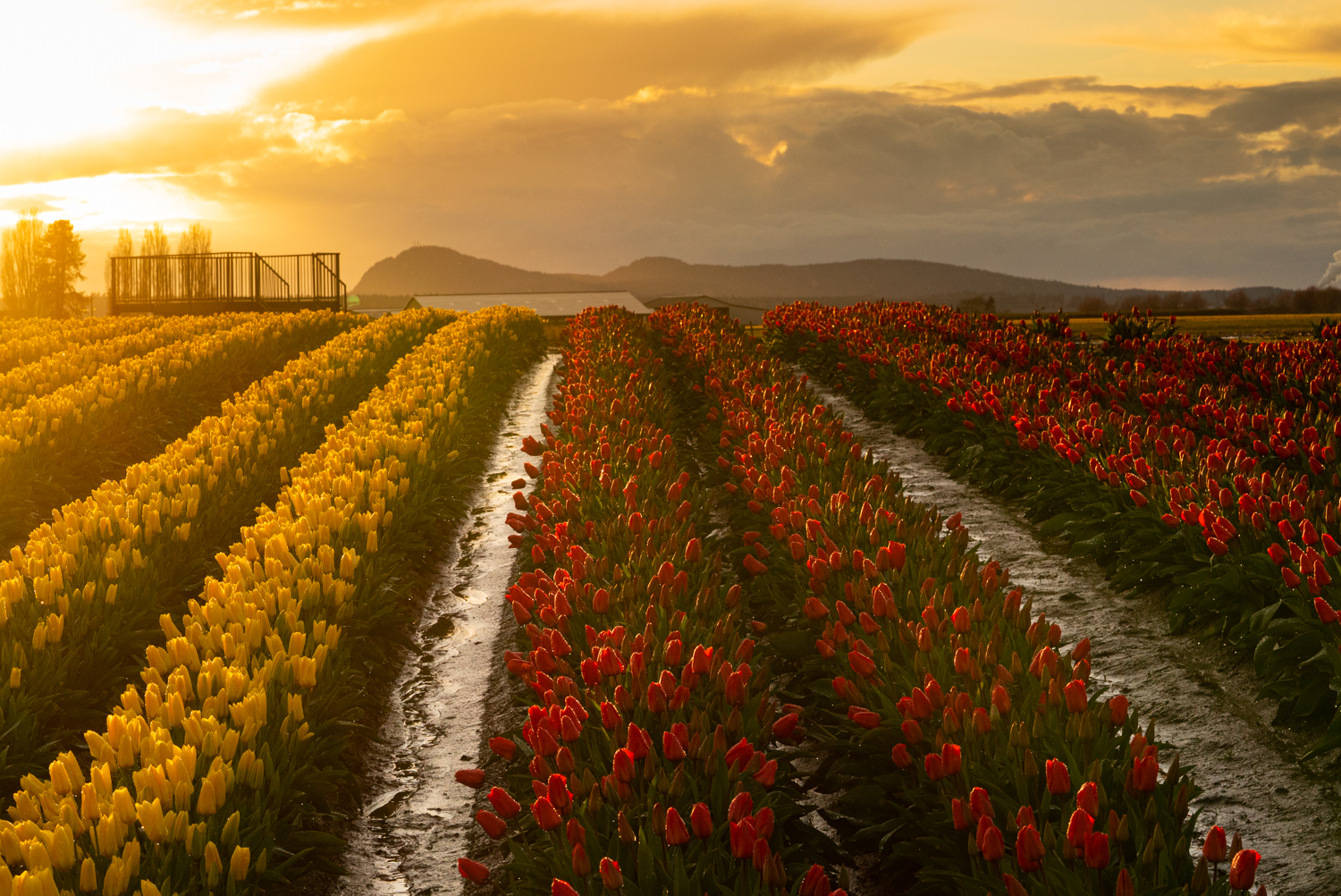 The annual Tulip Festival in Skagit Valley, Washington, has been canceled due to the coronavirus. (Photo courtesy of Tulip Town)
