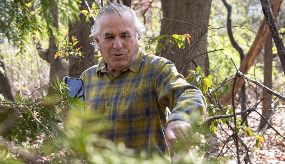 Making his way through the woodland, Del Tredici points to a Japanese yew. (Robin Lubbock/WBUR)
