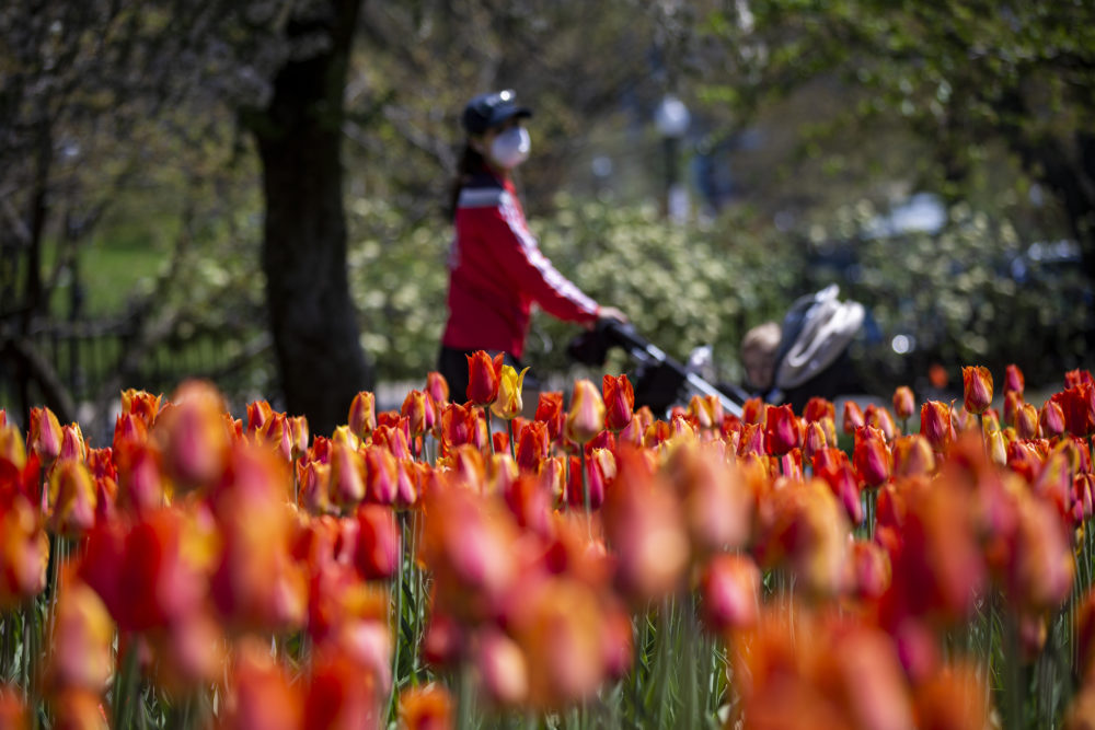 A woman with a baby carraige walks past the tulips in bloom at the Boston Public Garden. (Jesse Costa/WBUR)