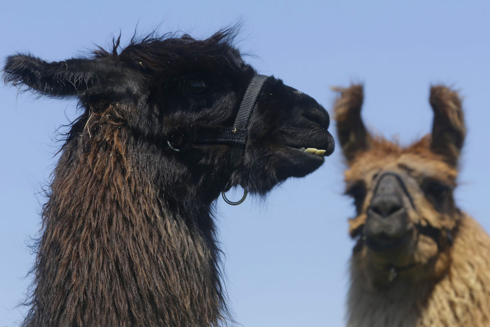 Llamas greet the media during a press preview at the Illinois State Fairgrounds, Tuesday, April 22, 2014, in Springfield, Ill.  (Seth Perlman/AP)