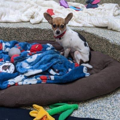 Chloé est un autre chien de sauvetage qui a été placé pendant la pandémie de COVID-19.  (Avec l'aimable autorisation de MSPCA-Angell)