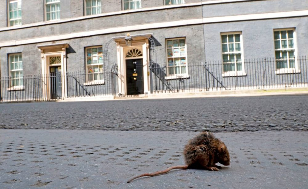 A rat sits in the road in central London on May 12, 2020. (Tolga Akmen/AFP/Getty Images)