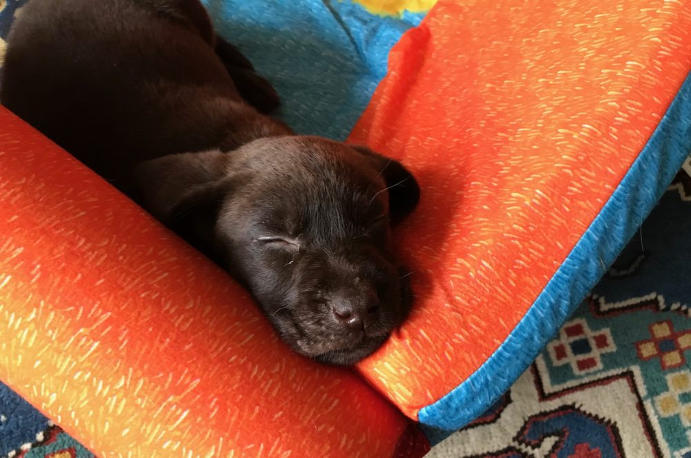 The author's pandemic puppy, Wally (Courtesy)