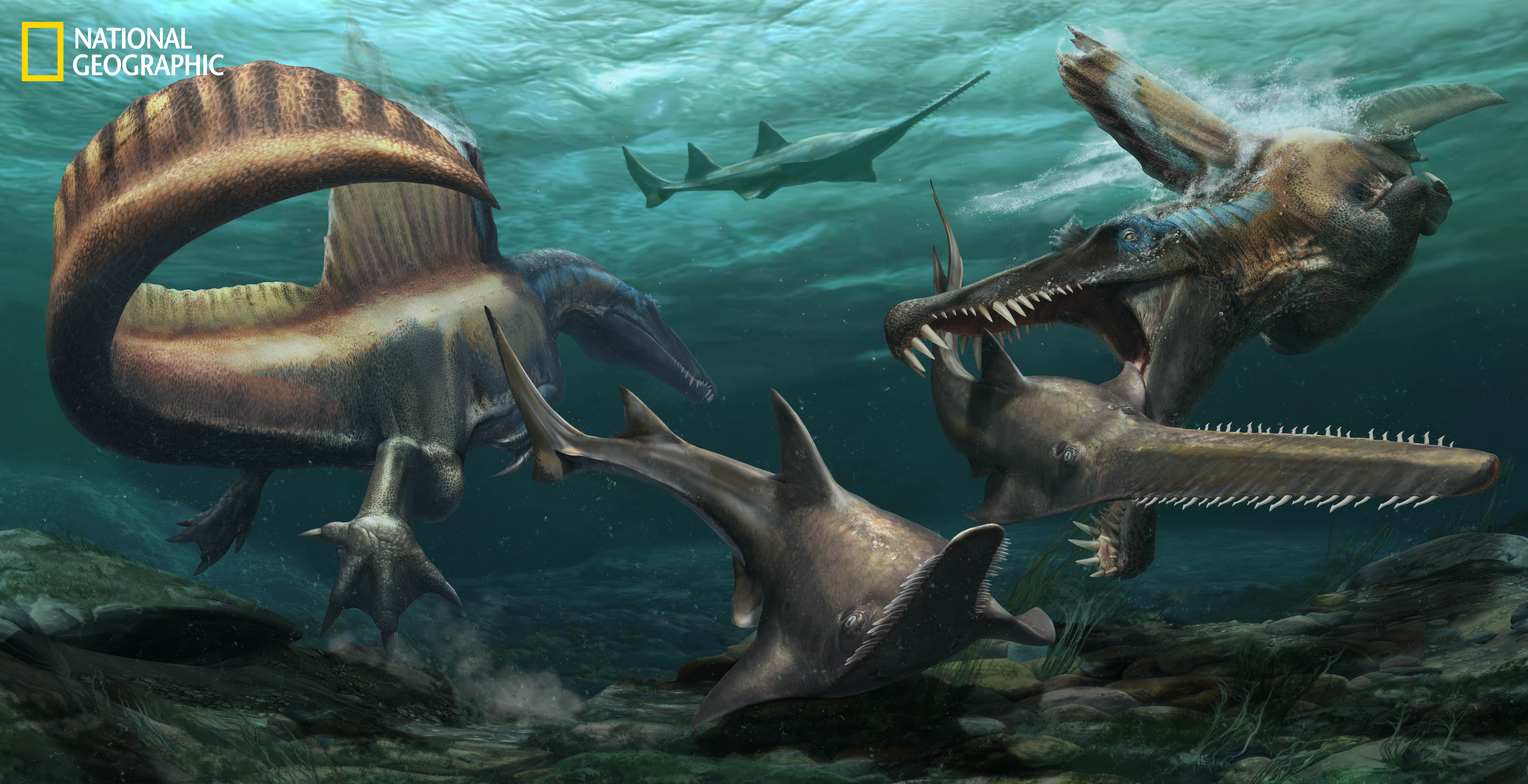 Two Spinosaurus hunt Onchopristis, a prehistoric sawfish, in the waters of the Kem Kem river system in what is now Morocco. (Credit: Jason Treat, NG Staff, and Mesa Schumacher. Art: Davide Bonadonna. Source: Nizar Ibrahim, University of Detroit Mercy)