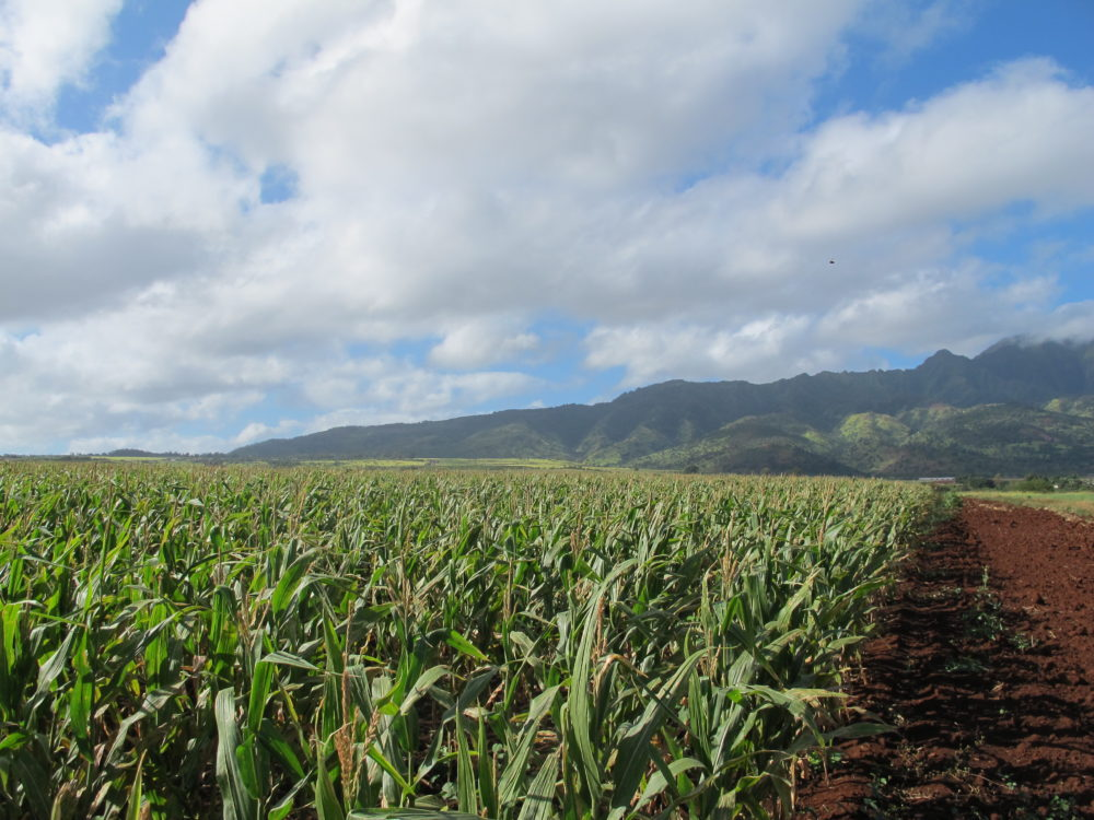 In this April 16, 2014 photo, the Waianae mountains serve as a backdrop to a field of corn on Pioneer Hi-Bred International land in Waialua, Hawaii. (Audrey McAvoy/AP)