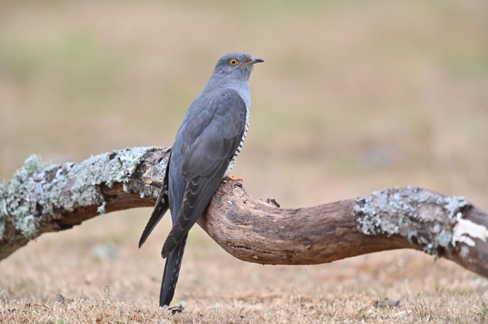 A cuckoo sits on a log near Horsham in southern England on June 5, 2020. (Glyn Kirk/AFP via Getty Images)