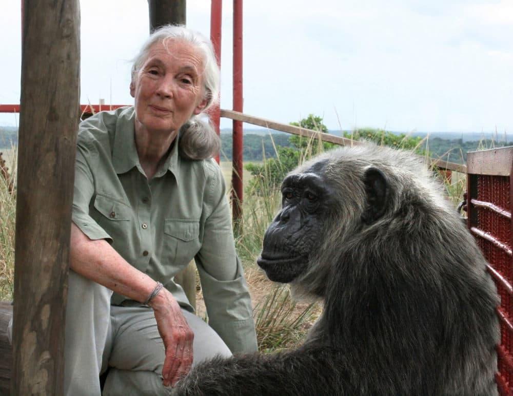 Jane Goodall with LaVielle at the Tchimpounga Chimpanzee Rehabilitation Center in the Republic of the Congo. (© Jane Goodall Institute/Fernando Turmo)