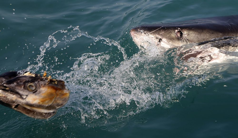 In this Aug. 11, 2016, file photo, a great white shark tries to bite a fish head being trolled though the water as researchers chum the ocean looking for sharks off the coast of South Africa. Seals are thriving off the northeast U.S. coast thanks to decades of protections. That victory for wildlife has brought a consequence for humans: more encounters with sharks. (Schalk van Zuydam/AP File)