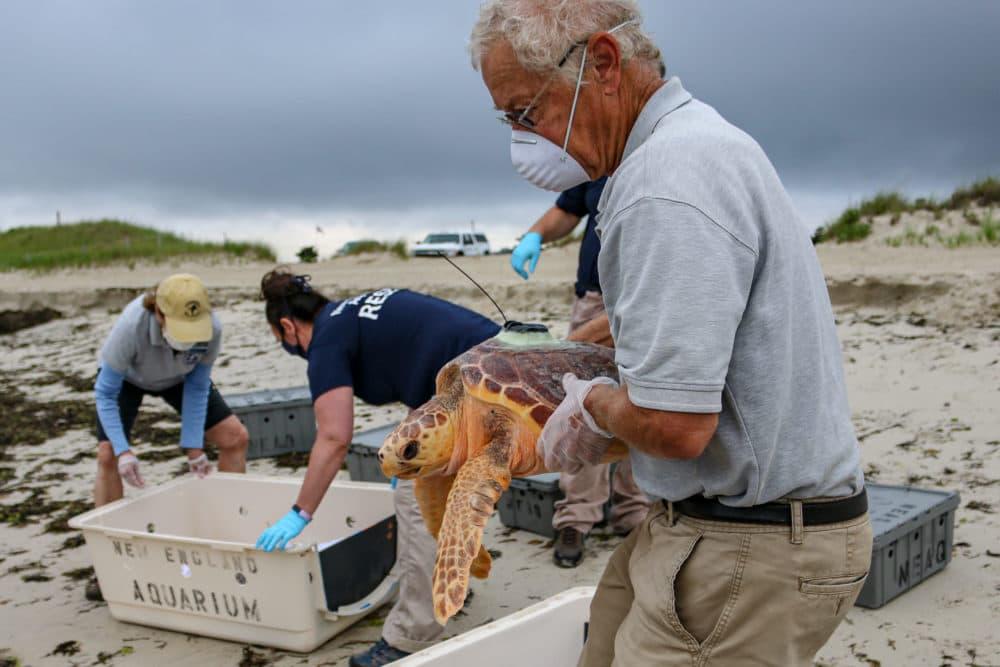 Loggerhead sea turtle being released into ocean off Cape Cod. (Vanessa Kahn/New England Aquarium)