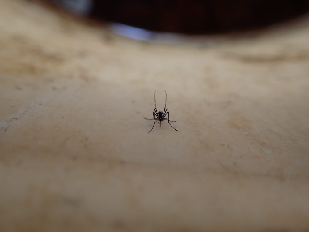 A wild female Aedes aegypti mosquito resting in a bucket in Thies, Senegal. (Courtesy Noah Rose)