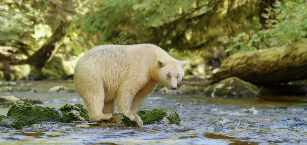 A rare kermode, or spirit bear. (From Great Bear Rainforest, Courtesy MacGillivray Freeman Films)