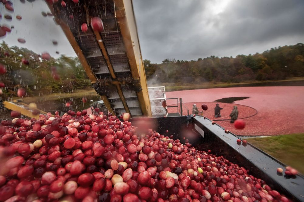Cranberries fall into a truck after the vines have been removed at Pinnacle Bog in Plymouth in October 2019. (Jesse Costa/WBUR)