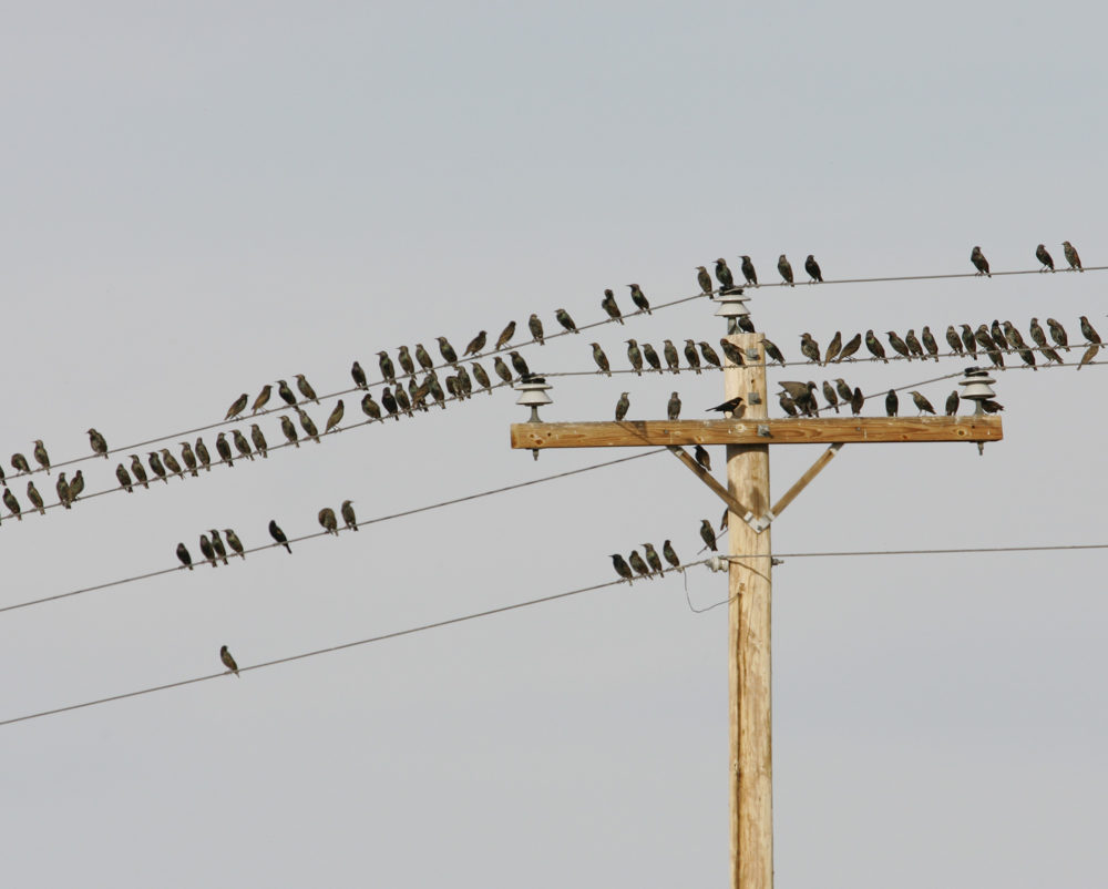A flock of migrating birds, mostly European Starlings shown in 2005 in San Antonio, New Mexico. (Heather Forcier/AP)