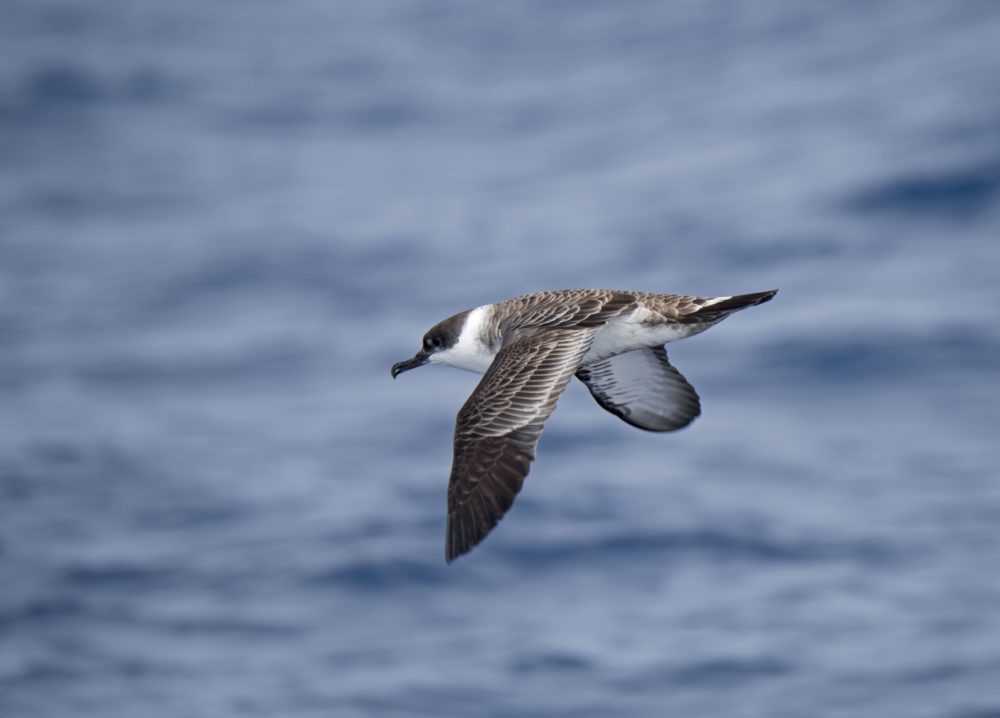 A great shearwater flying over the Southern Ocean off Falklands. (Education Images/Universal Images Group via Getty Images)