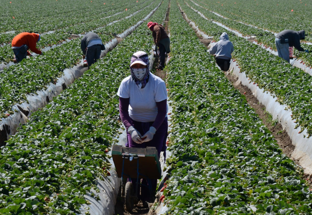 Migrant workers harvest strawberries at a farm near Oxnard, California. (Joe Klamar/AFP via Getty Images)