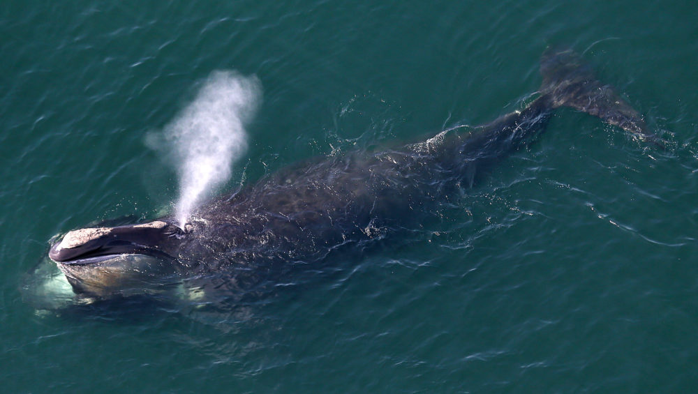 An aerial view of a right whale erupting from the blow hole while feeding off the shores of Duxbury Beach. (David L. Ryan/The Boston Globe via Getty Images)