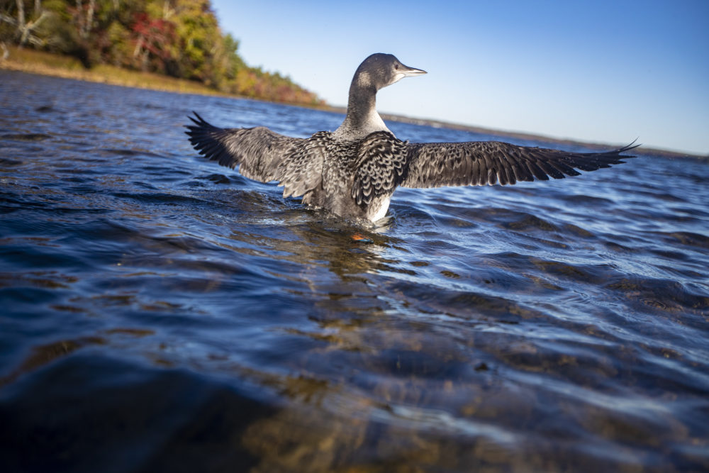 A loon chick translocated from Flagstaff Lakespreads her wings and looks out onto Assawompset Pond in Massachusetts, her new home. (Jesse Costa/WBUR)
