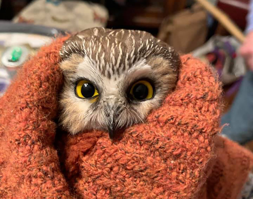 A tiny owl in New York is now somewhat of a celebrity. (Ravensbeard Wildlife Center)