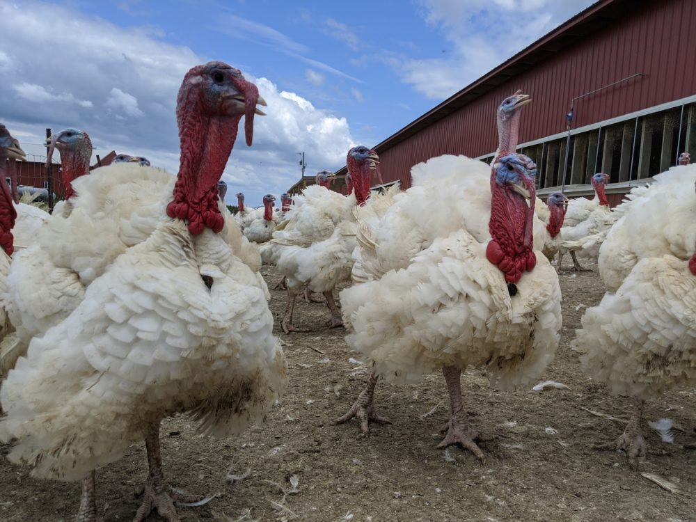 Turkeys at P&J Products in Northfield, Minnesota. (John Zimmerman)