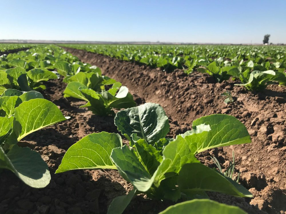 Jon Boelts' lettuce farm in Yuma, Arizona. (Peter O'Dowd/Here & Now)