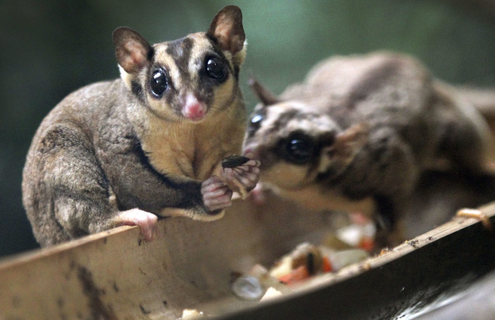 A Sugar Glider looks up while another steals its food at the Night Safari at the Singapore Zoo on Friday, Aug. 17, 2012 in Singapore.  (Wong Maye-E/AP)