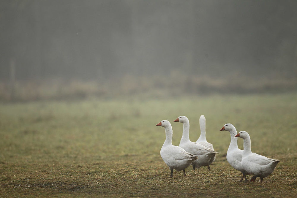 Geese walk across an open field at the Oekohof Kuhhorst organic farm near Berlin on November 24, 2011 in Kuhhorst, Germany. Goose is the traditional Christmas Eve dinner in Germany. (Sean Gallup/Getty Images)