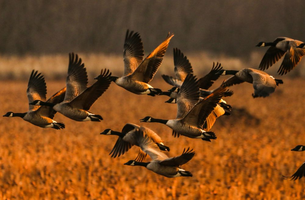 Canada Geese take flight at the Great Meadows National Wildlife Refuge in Concord, Mass. (Glenn Rifkin)